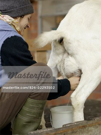 Milking A Goat Traditionally Stock Photo - Rights-Managed, Image code: 824-02293502