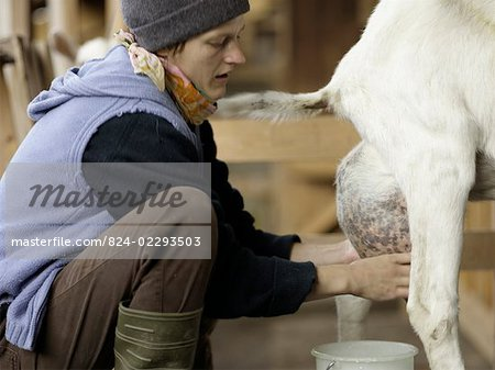 Milking A Goat Traditionally Stock Photo - Rights-Managed, Image code: 824-02293503