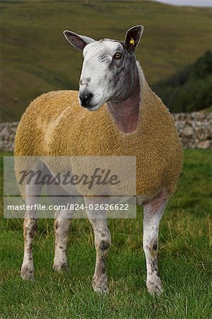 Blue Faced Leicester Ram in Field , Northumberland Stock Photo - Rights-Managed, Image code: 824-02626622