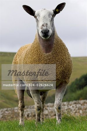 Blue Faced Leicester Ram in Field , Northumberland Stock Photo - Rights-Managed, Image code: 824-02626624