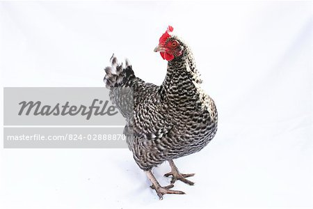 Organic free range chicken on white Stock Photo - Rights-Managed, Image code: 824-02888870
