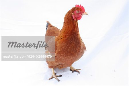 Organic free range chicken on white background Stock Photo - Rights-Managed, Image code: 824-02888879