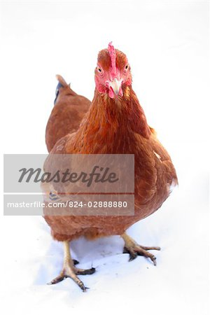 Organic free range chicken on white background Stock Photo - Rights-Managed, Image code: 824-02888880