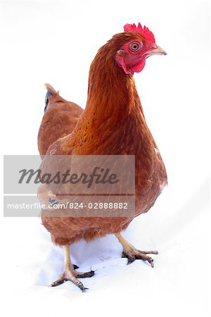 Organic free range chicken on white background Stock Photo - Rights-Managed, Image code: 824-02888882