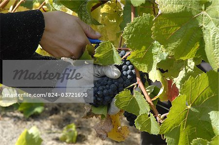 Hand picking grapes in a vineyard in the Marlborough region near Blenheim South Island New Zealand Stock Photo - Rights-Managed, Image code: 824-03721690