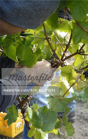Hand picking grapes in a vineyard in the Marlborough region near Blenheim South Island New Zealand Stock Photo - Rights-Managed, Image code: 824-03721691