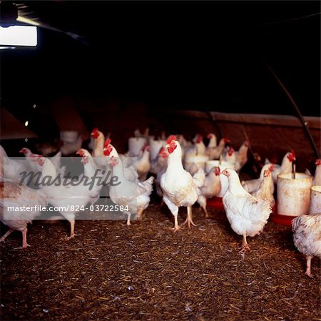 Chickens in Shed Stock Photo - Rights-Managed, Image code: 824-03722584