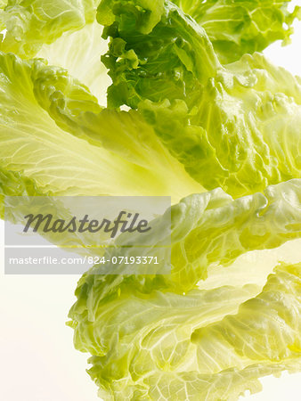 Batavia lettuce leaves on a white background Stock Photo - Rights-Managed, Image code: 824-07193371