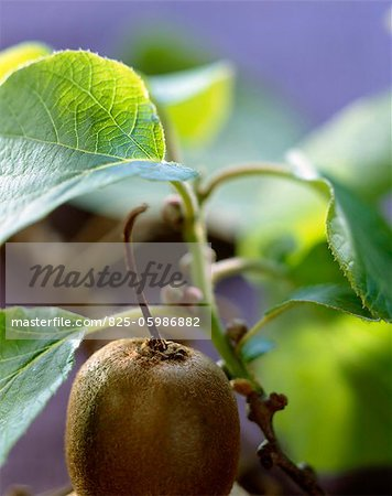 Kiwi Stock Photo - Rights-Managed, Image code: 825-05986882
