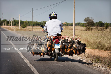 Man transporting live chickens on a moped ,Cambodia Stock Photo - Rights-Managed, Image code: 825-07077156