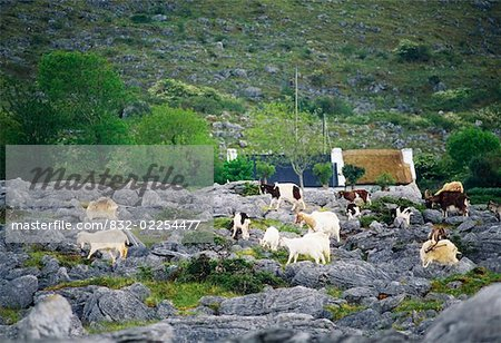 Goats, Near Ballyvaghan, The Burren Co Clare Stock Photo - Rights-Managed, Image code: 832-02254477