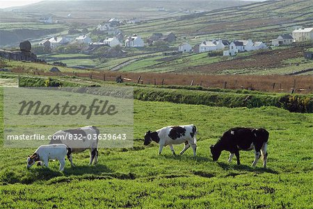 Arranmore Island, Co Donegal, Ireland; Cattle Grazing Stock Photo - Rights-Managed, Image code: 832-03639643