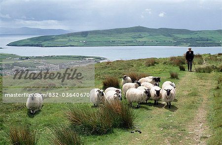 Flock Of Sheep, Dingle, County Kerry, Ireland Stock Photo - Rights-Managed, Image code: 832-03640670
