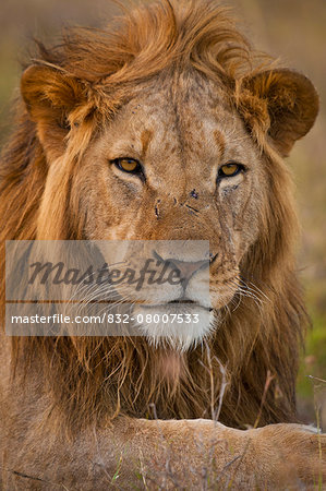 Male lion, Ol Pejeta Conservancy; Kenya Stock Photo - Rights-Managed, Image code: 832-08007533