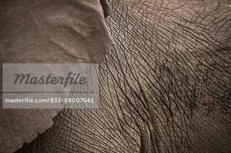 Detail of elephant, Ol Pejeta Conservancy; Kenya Stock Photo - Rights-Managed, Image code: 832-08007542