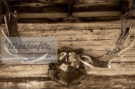 Close-up of a hunting trophy mounted on a wall, Old Trail Town Cody, Wyoming, USA Stock Photo - Rights-Managed, Image code: 837-02381445
