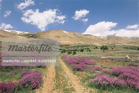 Lavender and spring flowers on the road from the Bekaa Valley to the Mount Lebanon range, Lebanon, Middle East Stock Photo - Rights-Managed, Image code: 841-02705809