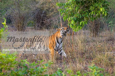 Bengal tiger, (Panthera tigris), Bandhavgarh, Madhya Pradesh, India Stock Photo - Rights-Managed, Image code: 841-02718147