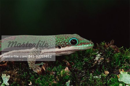 Lined day gecko (Phelsuma lineata), in captivity, from Madagascar, Africa Stock Photo - Rights-Managed, Image code: 841-02719852