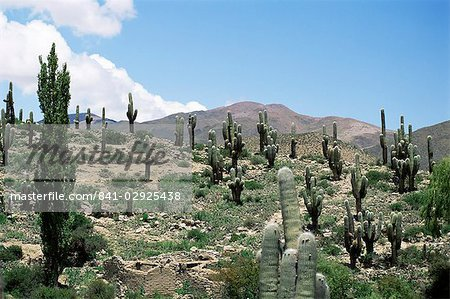 Cardones growing in the altiplano desert near Tilcara, Jujuy, Argentina, South America Stock Photo - Rights-Managed, Image code: 841-02925438
