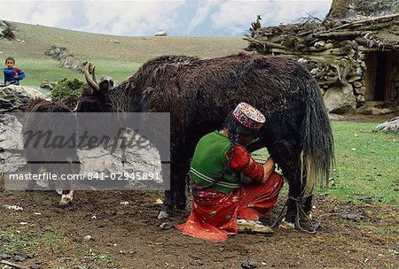 A woman in an embroidered hat milking the yak-cow, Yash-Pert Summer Diary in the Hunza area of Pakistan, Asia Stock Photo - Rights-Managed, Image code: 841-02945891