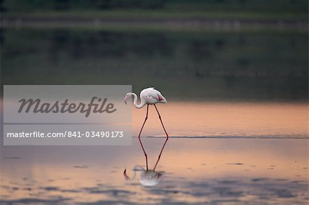 Greater flamingo (Phoenicopterus ruber) reflected in Lake Ndutu at sunset, Serengeti National Park, Tanzania, East Africa Stock Photo - Rights-Managed, Image code: 841-03490173