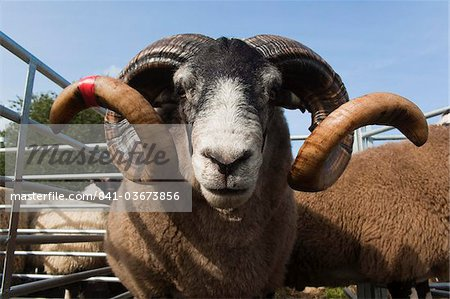 Blackface rams in sheep pens at upland show, Falstone Border Shepherd Show, Northumberland, England, United Kingdom, Europe Stock Photo - Rights-Managed, Image code: 841-03673856