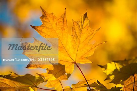 Bright yellow maple leaves in autumn, Vermont, New England, United States of America, North America Stock Photo - Rights-Managed, Image code: 841-03867895