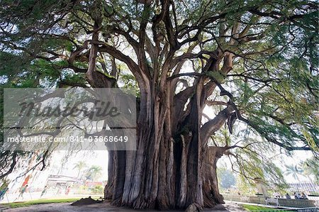 El Tule tree, the worlds largest tree by circumference, Oaxaca state, Mexico, North America Stock Photo - Rights-Managed, Image code: 841-03868649