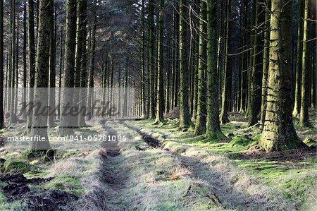 Forestry Commission plantation, Sousons, Dartmoor, Devon, England, United Kingdom, Europe Stock Photo - Rights-Managed, Image code: 841-05781086