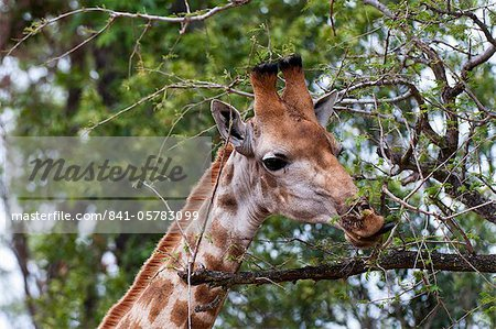 Giraffe (Giraffa camelopardalis), Kapama Game Reserve, South Africa, Africa Stock Photo - Rights-Managed, Image code: 841-05783099