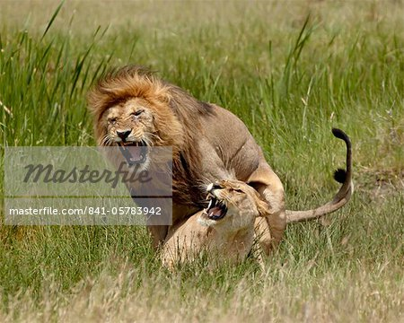 Lions (Panthera leo) mating, Serengeti National Park, Tanzania, East Africa, Africa Stock Photo - Rights-Managed, Image code: 841-05783942