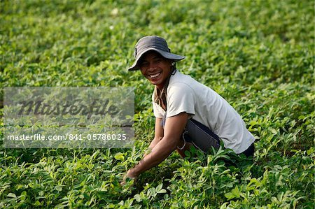 Farmer growing greens, Kampot, Cambodia, Indochina, Southeast Asia, Asia Stock Photo - Rights-Managed, Image code: 841-05786025