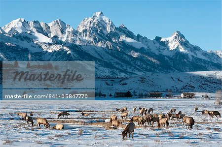 Elk (Cervus canadensis) with antlers, snow-covered Teton Mountains in the background, Elk Wildlife Refuge, Jackson Hole, Wyoming, United States of America, North America Stock Photo - Rights-Managed, Image code: 841-05847770