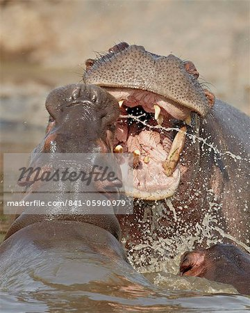 Two hippopotamus (Hippopotamus amphibius) sparring, Serengeti National Park, Tanzania, East Africa, Africa Stock Photo - Rights-Managed, Image code: 841-05960979
