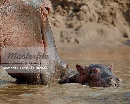 Hippopotamus (Hippopotamus amphibius) adult and baby, Serengeti National Park, Tanzania, East Africa, Africa Stock Photo - Rights-Managed, Image code: 841-05960980