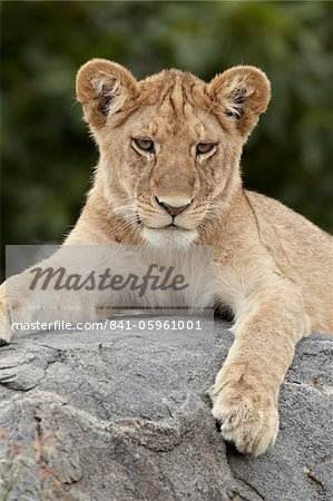 Lion (Panthera leo) cub, Serengeti National Park, Tanzania, East Africa, Africa Stock Photo - Rights-Managed, Image code: 841-05961001