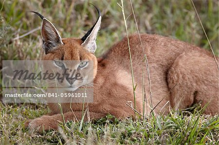 Caracal (Caracal caracal), Serengeti National Park, Tanzania, East Africa, Africa Stock Photo - Rights-Managed, Image code: 841-05961011
