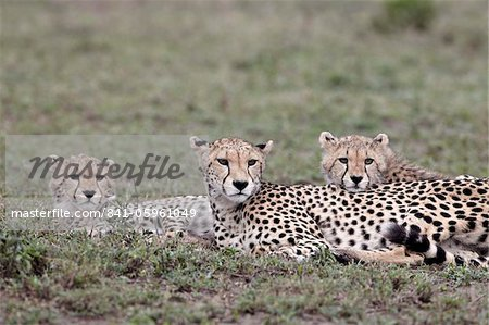 Cheetah (Acinonyx jubatus) mother and two cubs, Serengeti National Park, Tanzania, East Africa, Africa Stock Photo - Rights-Managed, Image code: 841-05961049