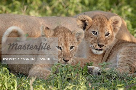 Two young lion (Panthera leo) cubs, Serengeti National Park, Tanzania, East Africa, Africa Stock Photo - Rights-Managed, Image code: 841-05961058