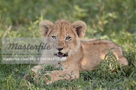 Young lion (Panthera leo) cub, Serengeti National Park, Tanzania, East Africa, Africa Stock Photo - Rights-Managed, Image code: 841-05961059