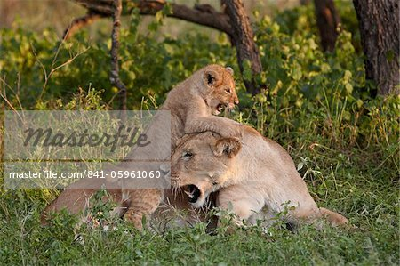 Lion (Panthera leo) cub playing on its mother, Serengeti National Park, Tanzania, East Africa, Africa Stock Photo - Rights-Managed, Image code: 841-05961060