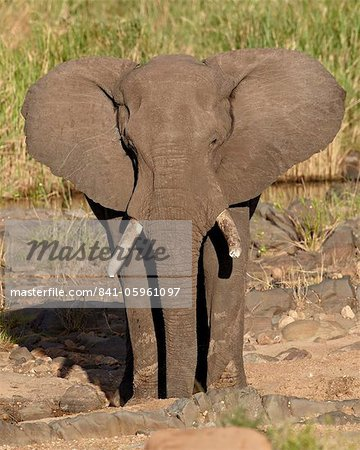 African elephant (Loxodonta africana), Kruger National Park, South Africa, Africa Stock Photo - Rights-Managed, Image code: 841-05961097