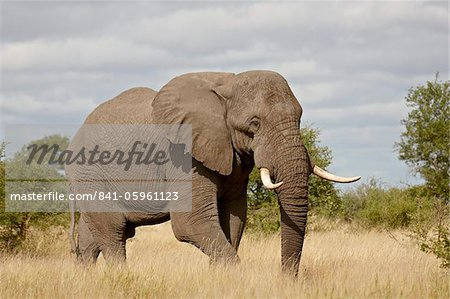 African elephant (Loxodonta africana), Kruger National Park, South Africa, Africa Stock Photo - Rights-Managed, Image code: 841-05961123