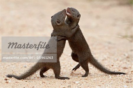 Two dwarf mongoose (Helogale parvula) sparring, Kruger National Park, South Africa, Africa Stock Photo - Rights-Managed, Image code: 841-05961263