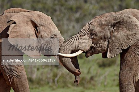 Two African elephant (Loxodonta africana) face to face, Addo Elephant National Park, South Africa, Africa Stock Photo - Rights-Managed, Image code: 841-05961357