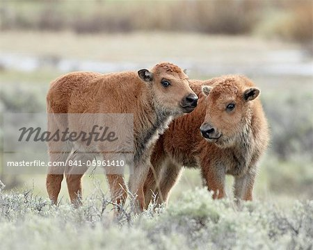Two bison (Bison bison) calves, Yellowstone National Park, UNESCO World Heritage Site, Wyoming, United States of America, North America Stock Photo - Rights-Managed, Image code: 841-05961410