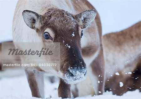 Young reindeer (Rangifer tarandus) grazing, Kvaloya Island, Troms, North Norway, Scandinavia, Europe Stock Photo - Rights-Managed, Image code: 841-06030772