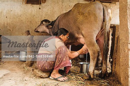 Milking the cow, Saijpur Ras, Gujarat, India, Asia Stock Photo - Rights-Managed, Image code: 841-06030848