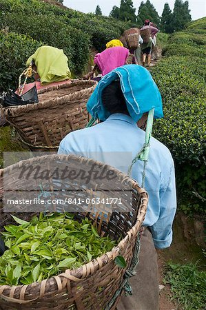 Workers carrying baskets of tea leaves, Fikkal, Nepal, Asia Stock Photo - Rights-Managed, Image code: 841-06341771